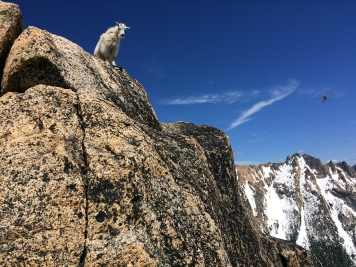 Obligatory goat shot. Photo: Nick Sweeney